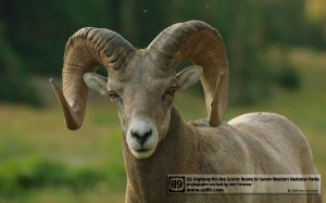 Rocky Mountain Bighorn, Glacier National Park