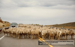 Sheep on US89, Sanpete County Utah